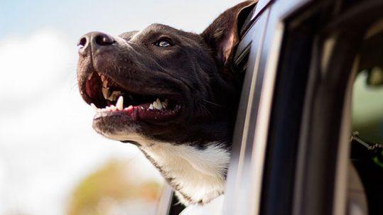 hacer un viaje con perros