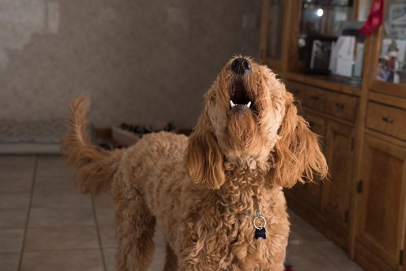 Enseñar a tu perro a no ladrar en casa